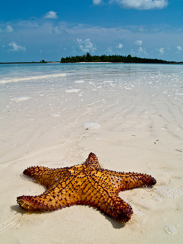 Carribean Starfish by Topyti